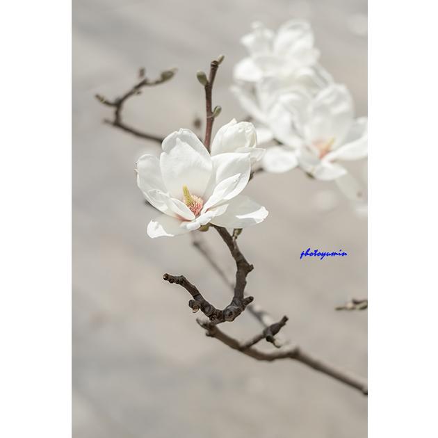 白玉兰,玉兰花,春天图片